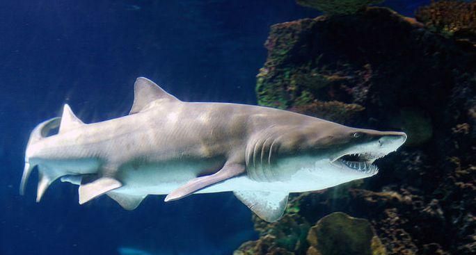 残忍的动物世界:沙虎鲨还没出生就吞食同类