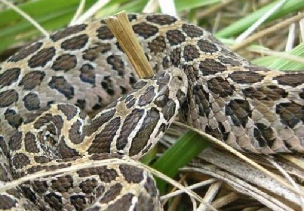 残忍的动物世界:响尾蛇,吃掉亲生骨肉恢复体力