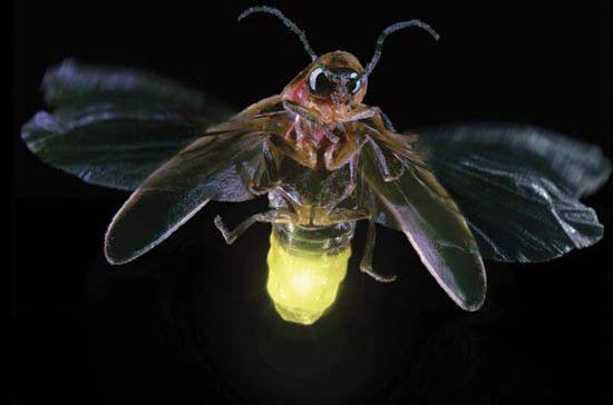 残忍的动物世界:嗜血萤火虫