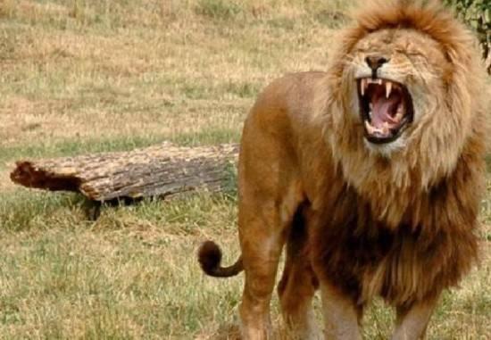 残忍的动物世界:雄狮杀崽夺王位