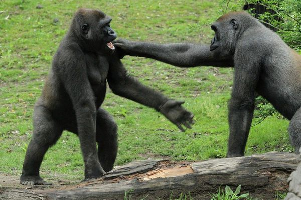 残忍的动物世界:为争夺配偶,雌性黑猩猩杀死对手的幼子