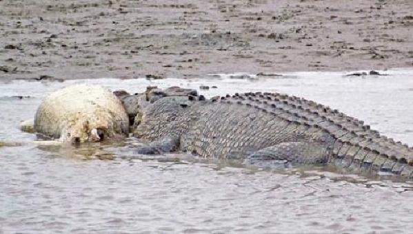 残忍的动物世界:咸水鳄,以小鳄鱼充饥