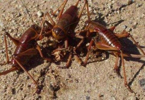 残忍的动物世界:摩门蟋蟀绝不共患难,集体残杀吞噬弱者