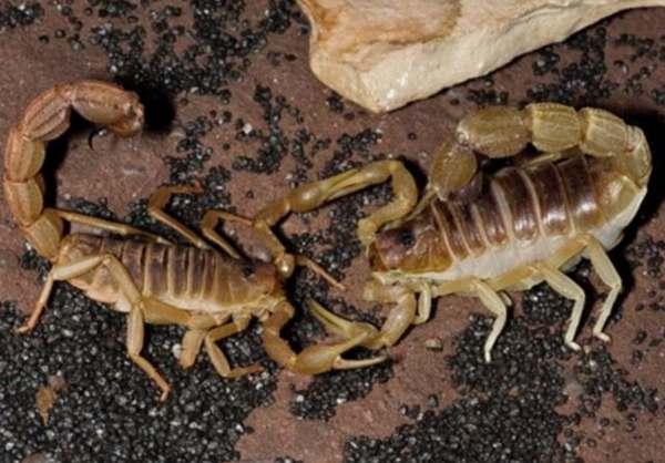 残忍的动物世界:蝎子最爱吃蝎子