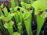 食肉植物:吃肉的瓶子草