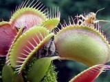 食肉植物:维纳斯捕蝇草