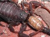 残忍的动物世界:蝎子,杀死并吃掉同类