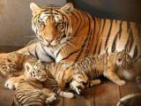 残忍的动物世界:虎毒真的不食子吗