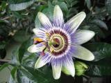 食肉植物:日轮花,杀人的魔花