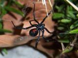 残忍的动物世界:黑寡妇蜘蛛,毒性极强,喜欢吃雌性同类
