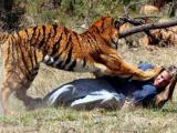 """动物行刑:印度老虎当""""法官"""",被饥饿老虎活活吞掉"""