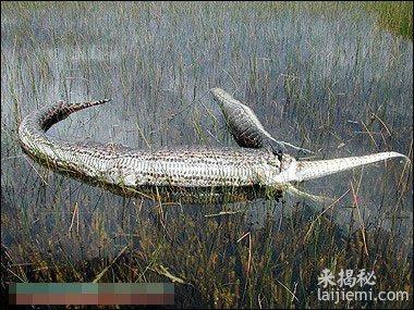 美洲鳄撕破了巨蟒蛇的肚子