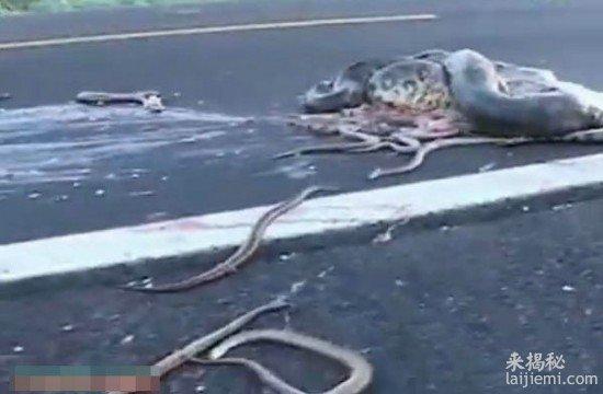 高速公路被车撞飞的大蟒蛇