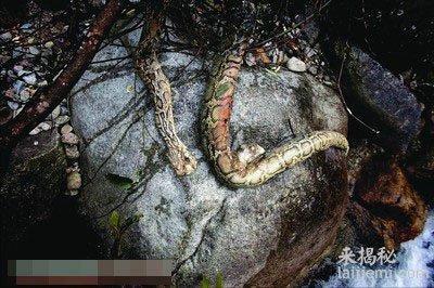 水库发现大蟒蛇尸体