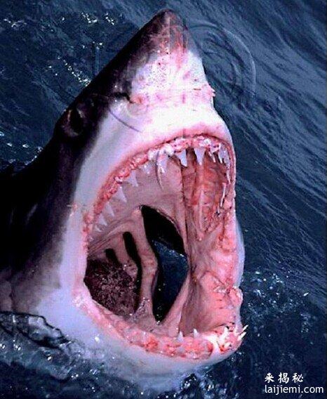 世界上最大的鲨鱼